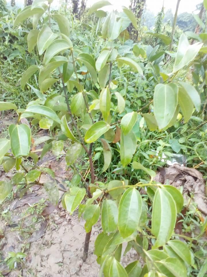 Cinnamon Trees BD Price