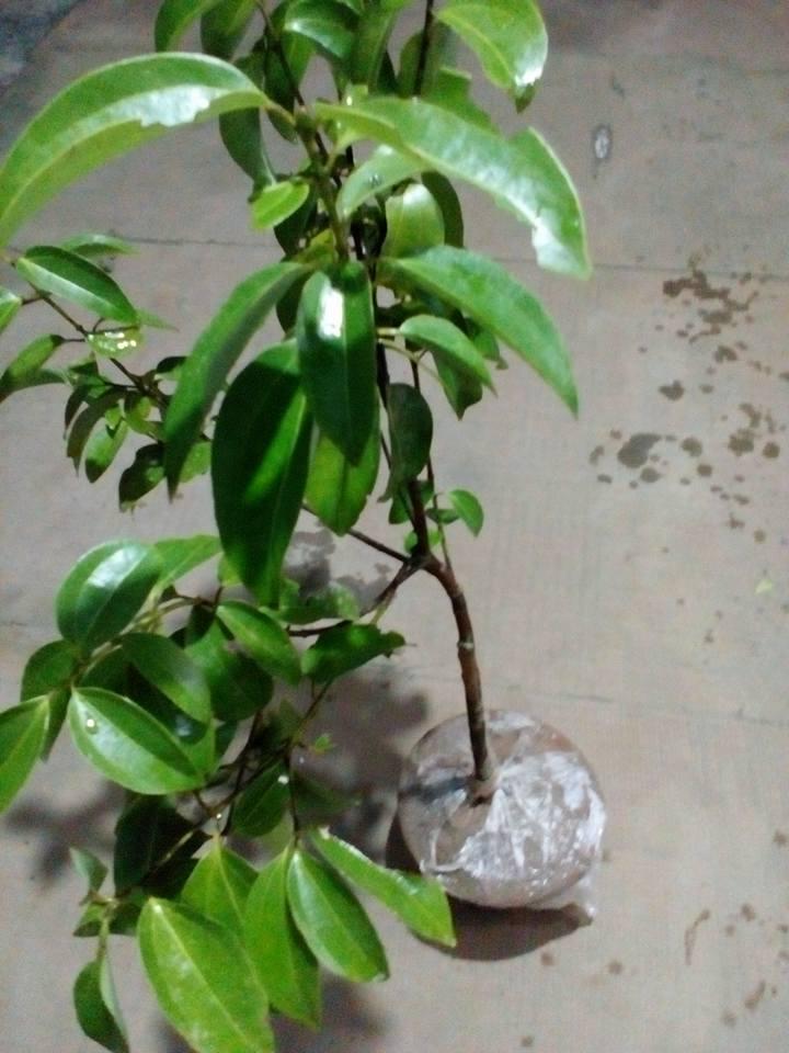 Cinnamon Trees On Getsview Market