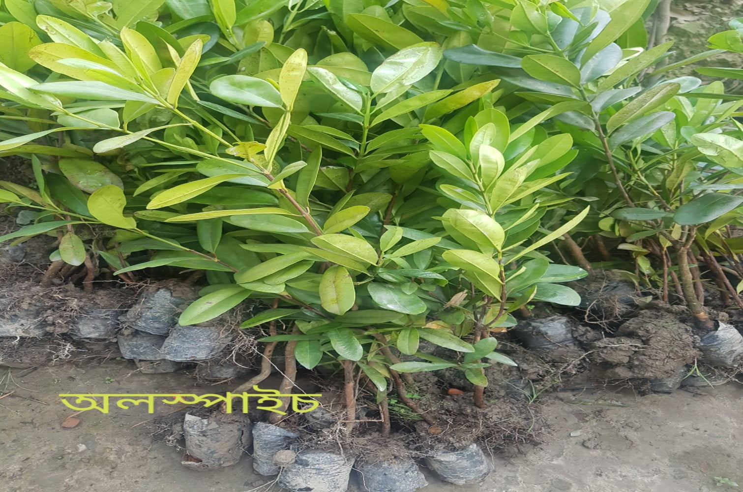 All Spice Plant For Sale in Bangladesh - GETSVIEW Market (1)