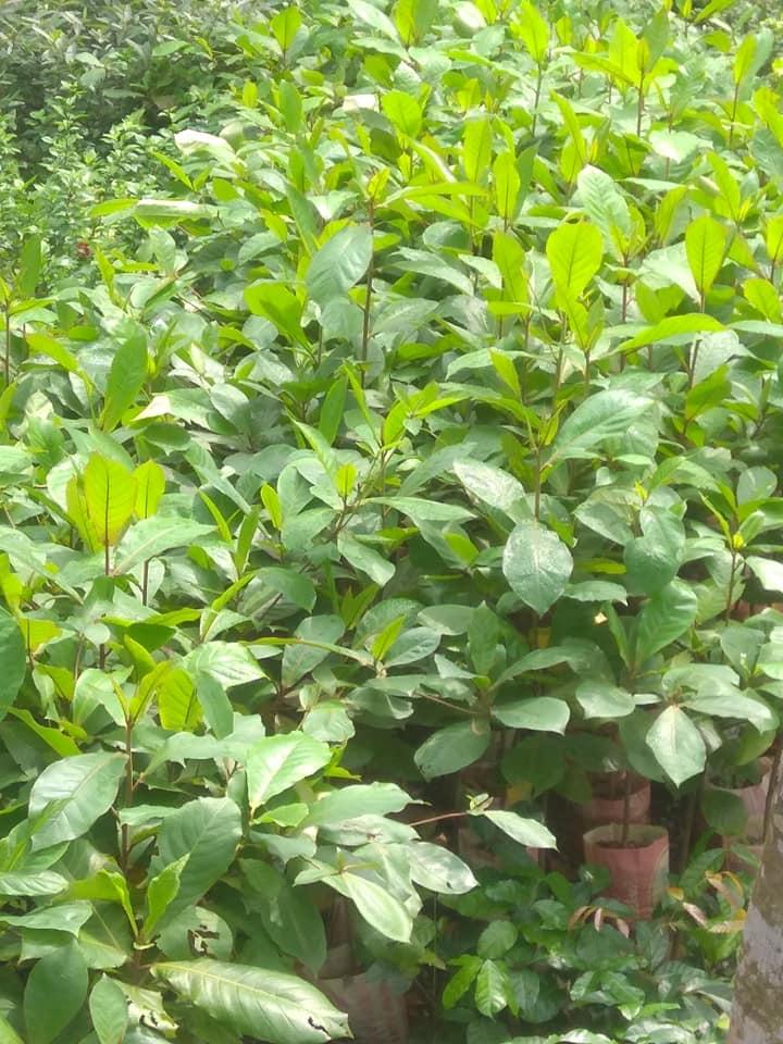 Almond Plant (Kathbadam) For Sale - GETSVIEW Market