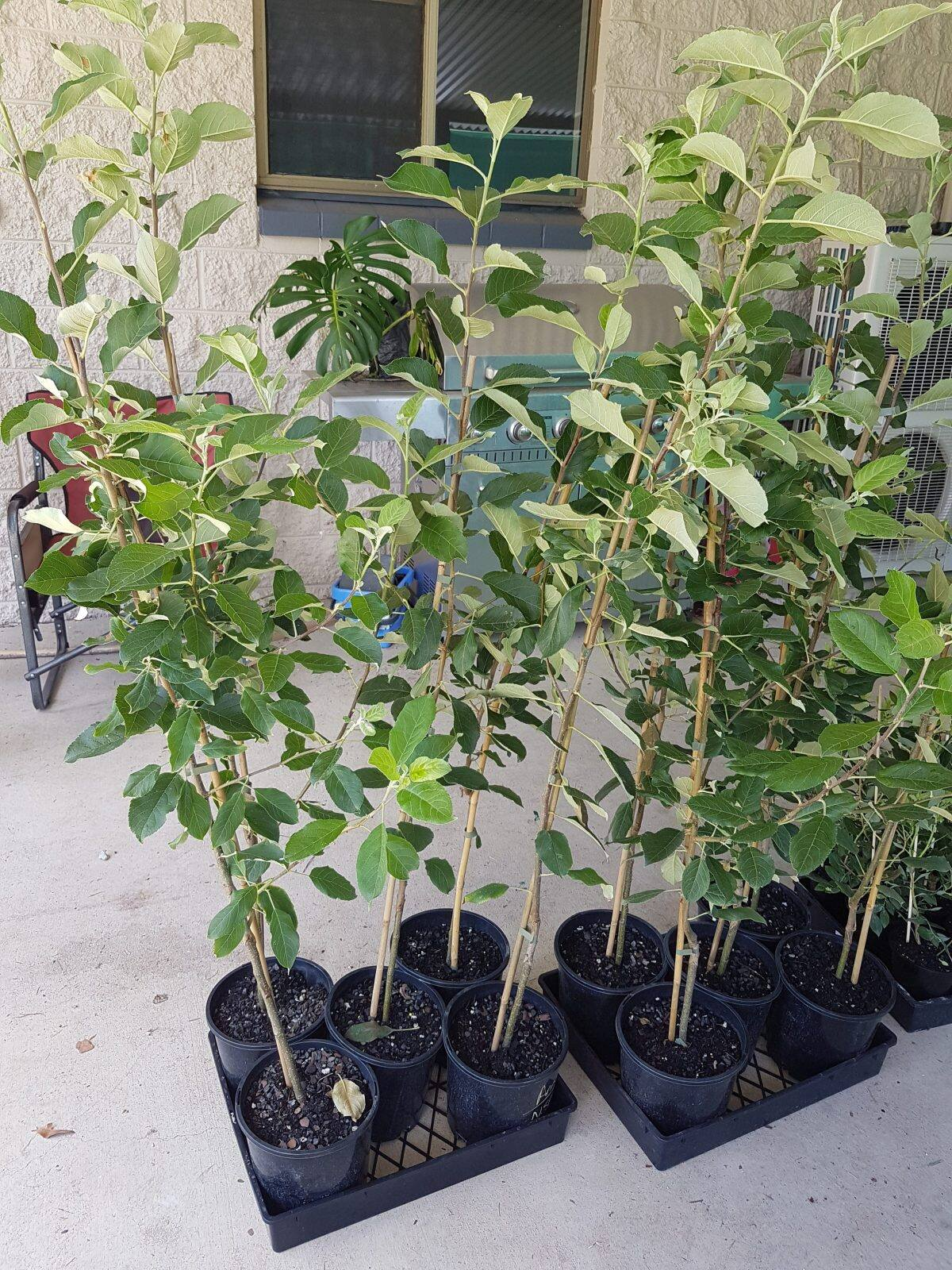 Anna Apple Plant BD - GETSVIEW M