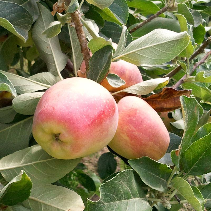 Anna Apple Plant For Sale - GETSVIEW Market