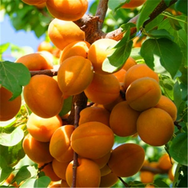 Apricot Plant For Sale in Bangladesh - GETSVIEW Market