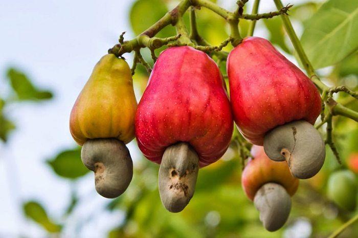 Cashew Nut Plant For Sale in Bangladesh - GETSVIEW Market