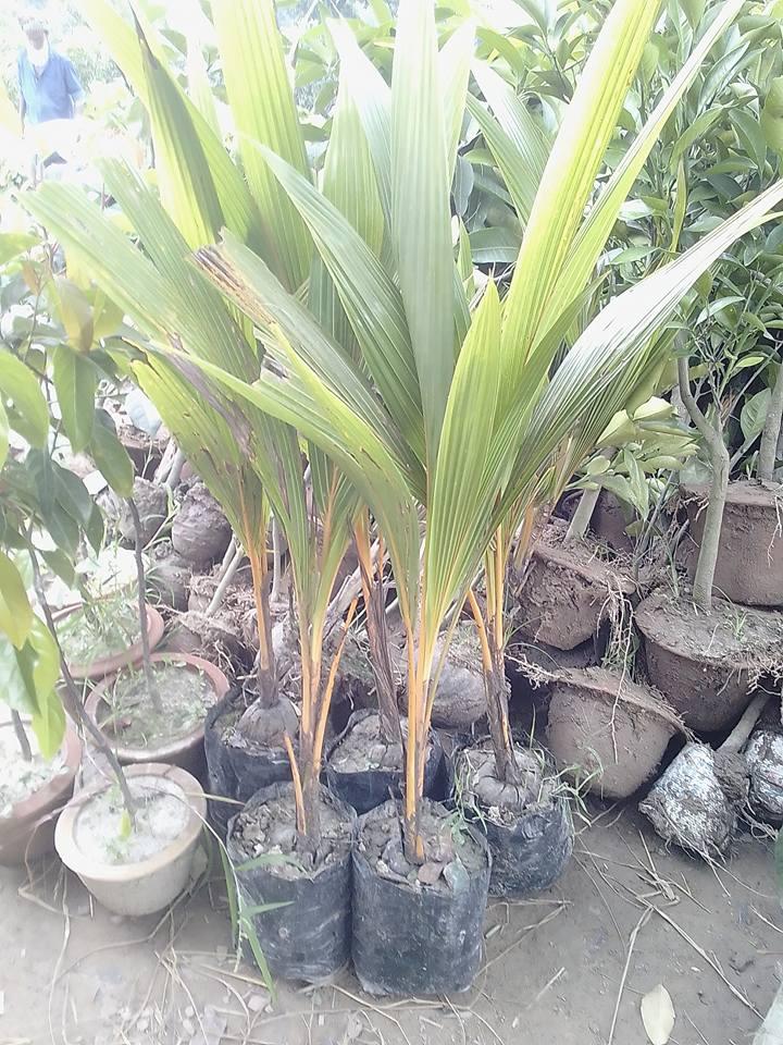 Coconut Plant For Sale BD - GETSVIEW Market