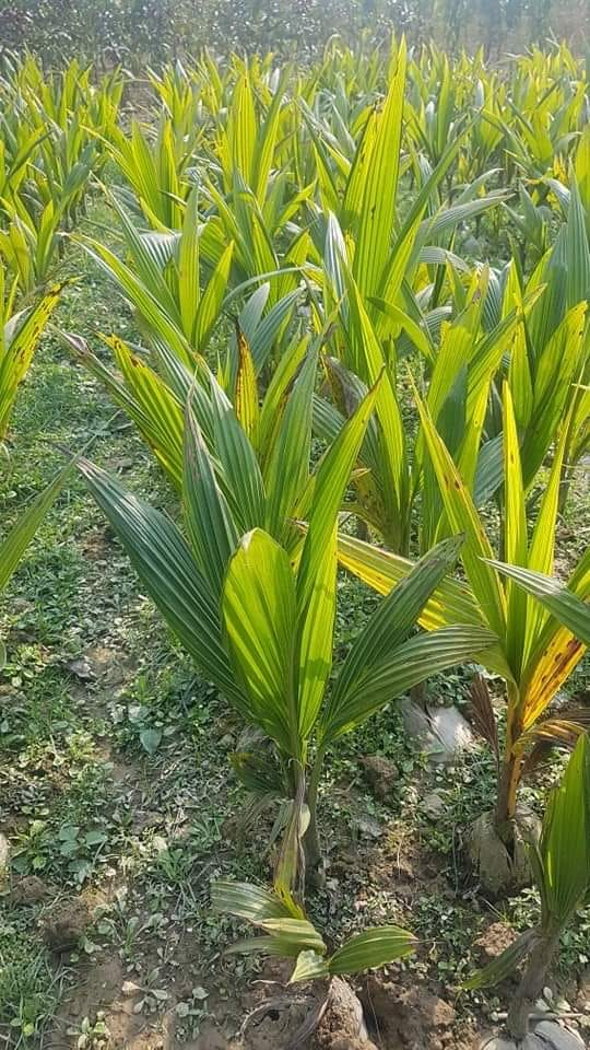 Desh Coconut Plant For Sale in BD - GETSVIEW Market