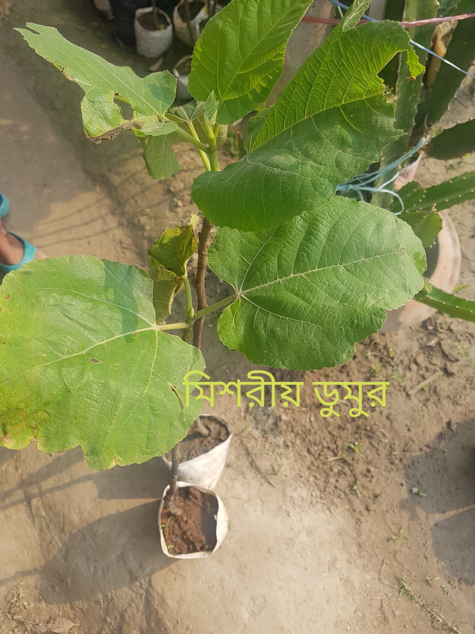 Egyptian Fig Plant For Sale in BD - GETSVIEW Market