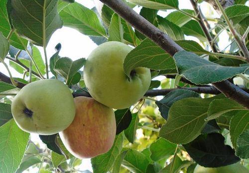 HRMN 99 Apple Plant For Sale - GETSVIEW Market