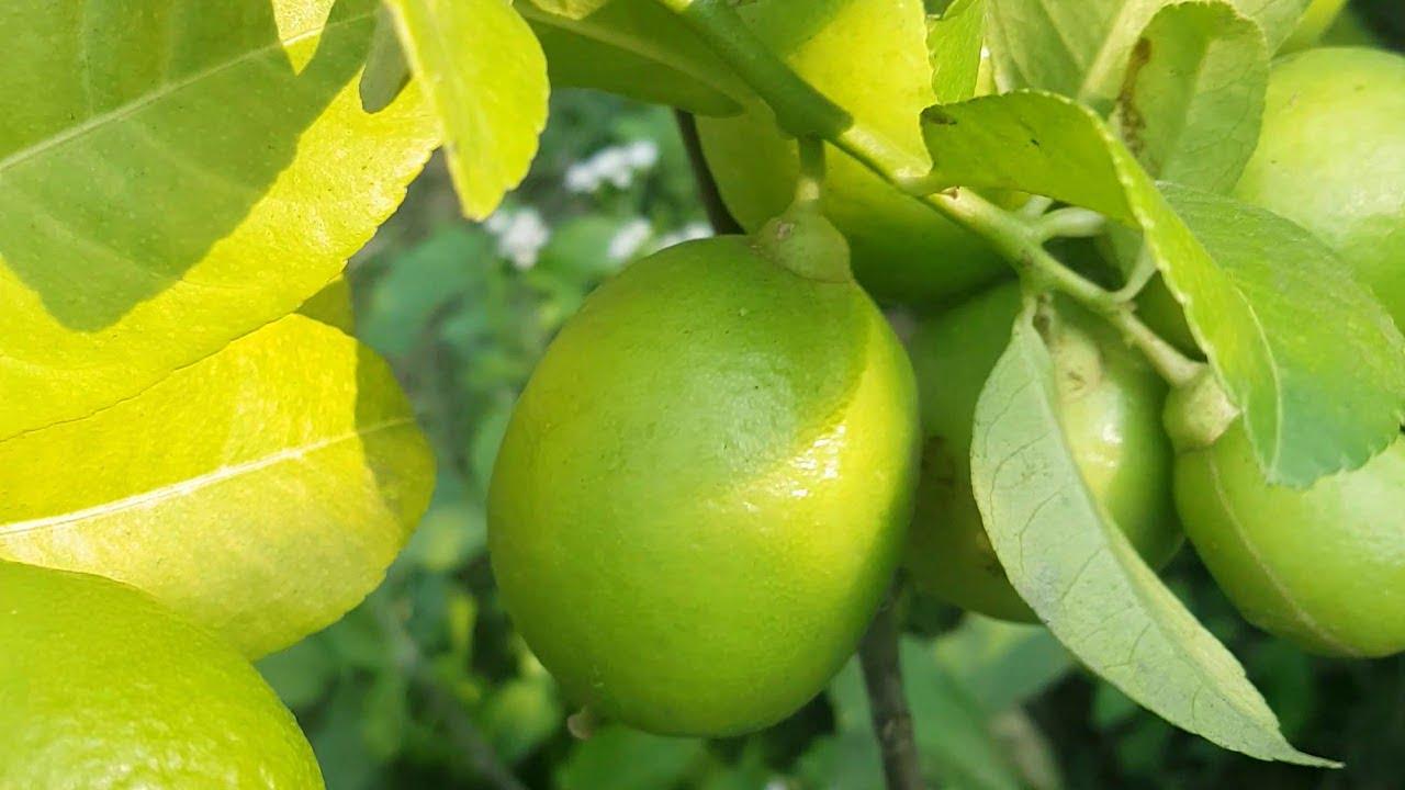 Key Lime (Kagoji Lebu) Plant for sale in BD