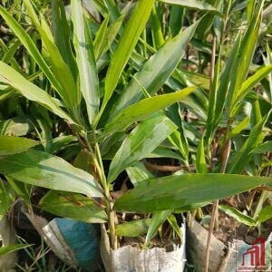 Indian White Cardamom Plants For Sale in Bangladesh - GETSVIEW Market
