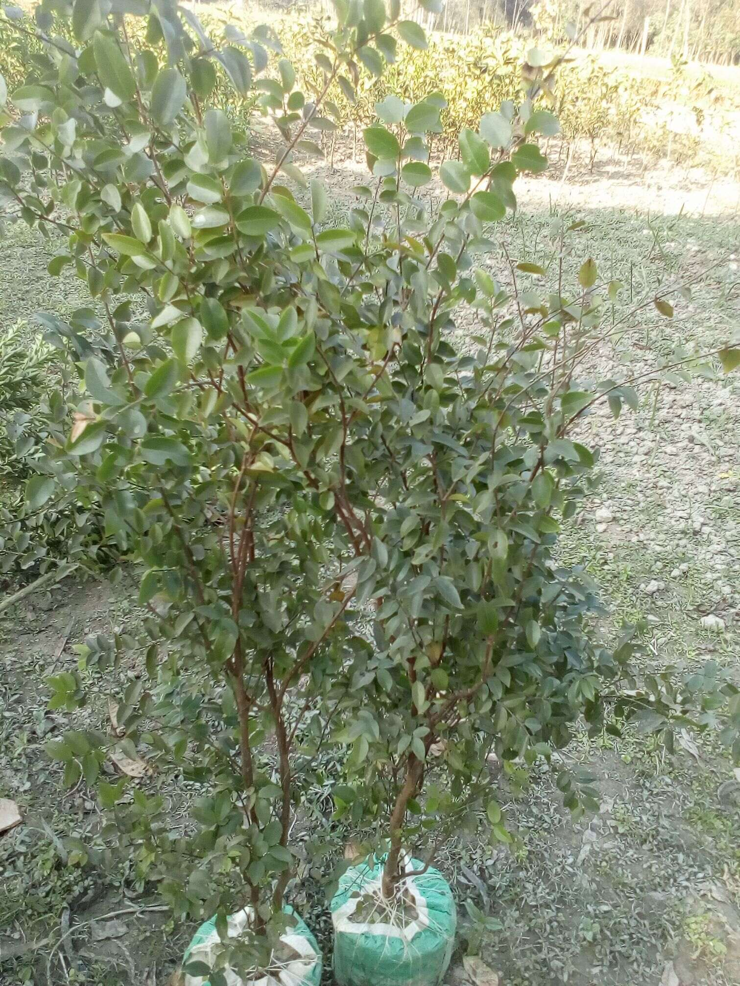Jabuticaba Plant For Sale in Ban
