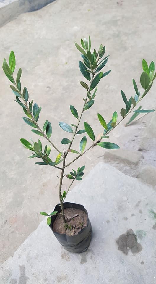 Jaitun Plant For Sale in BD - GETSVIEW Market