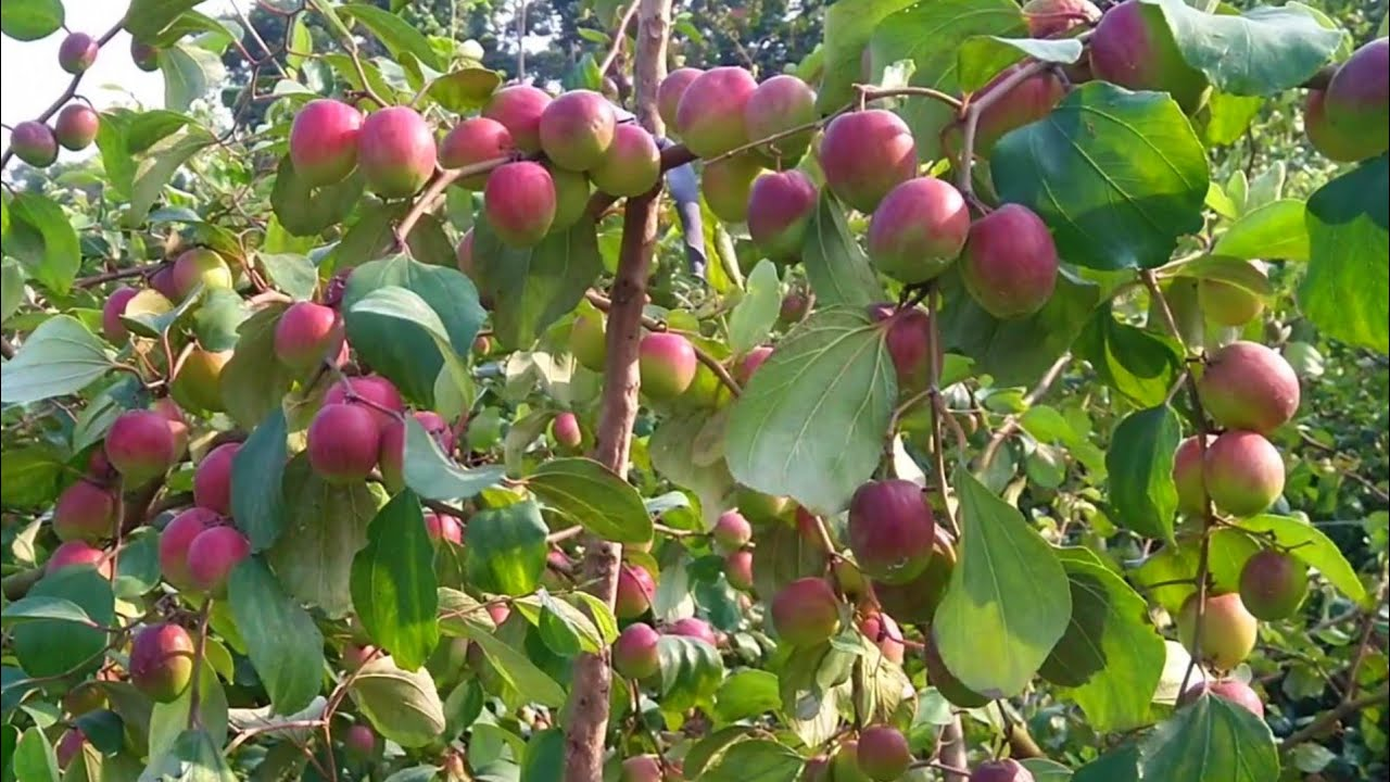 Kashmiri Apple Kul Plant - GETSVIEW Market