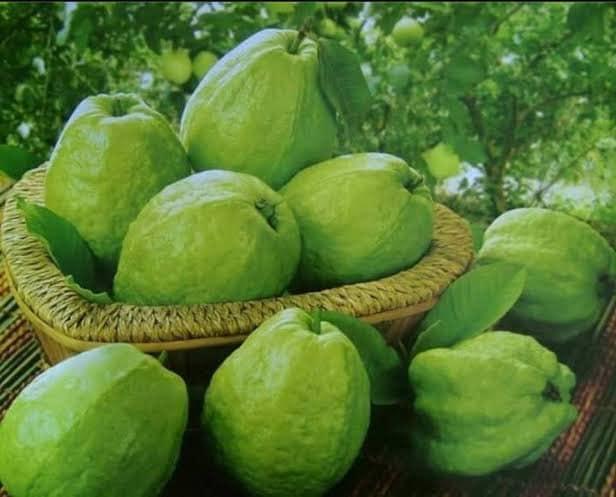 Kazi Guava Plant For Sale - GETSVIEW Market