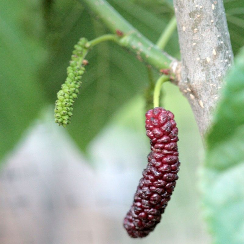 Long Mulberry Tree BD