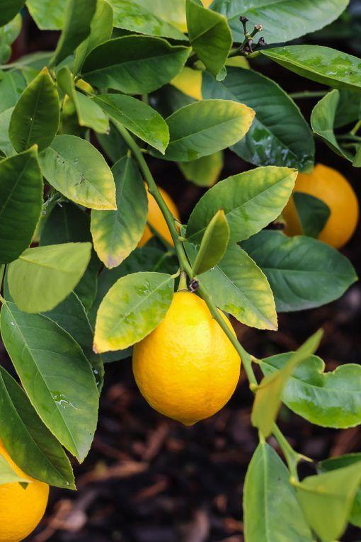 Meyer Lemon (Elachi Lebo) Plant - GETSVIEW Market