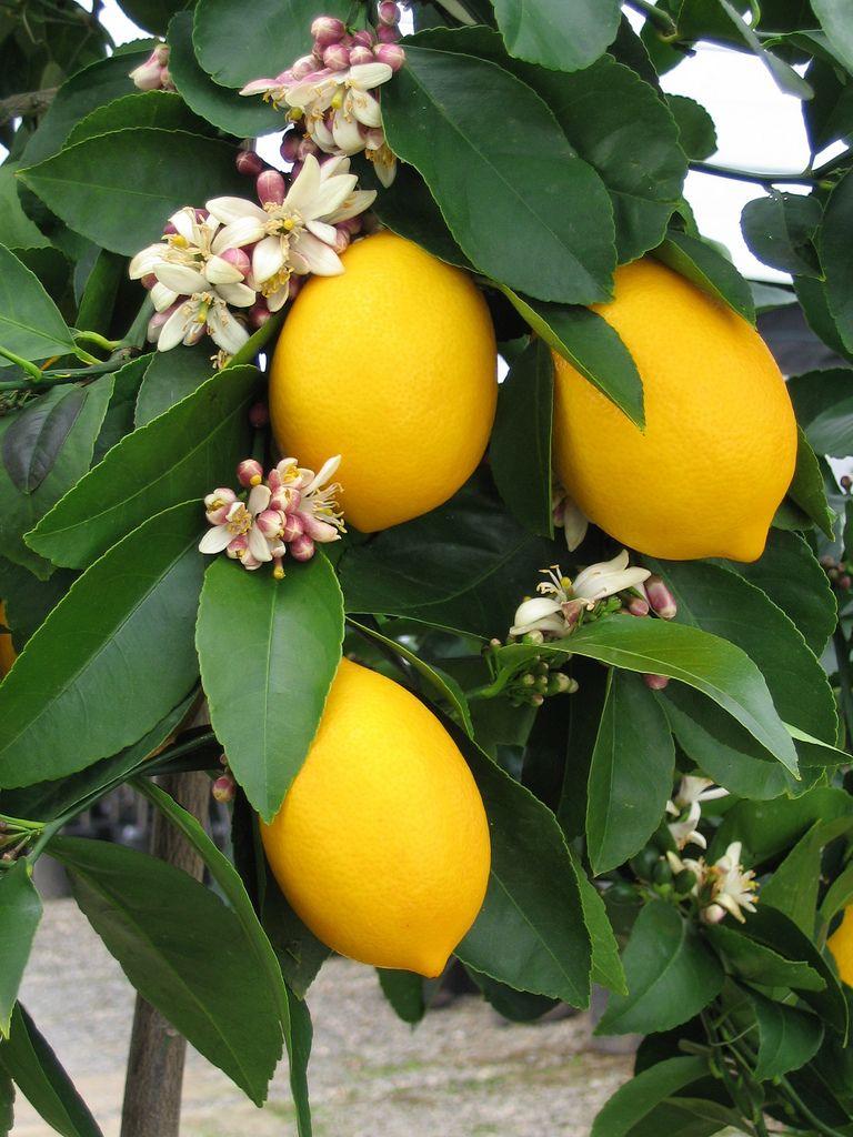 Meyer Lemon (Elachi Lemon) Plan - GETSVIEW Market