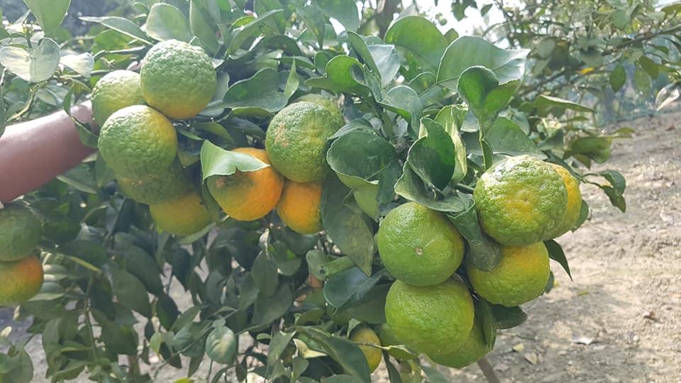 Nagpuri Orange Plant For Sale - GETSVIEW Market