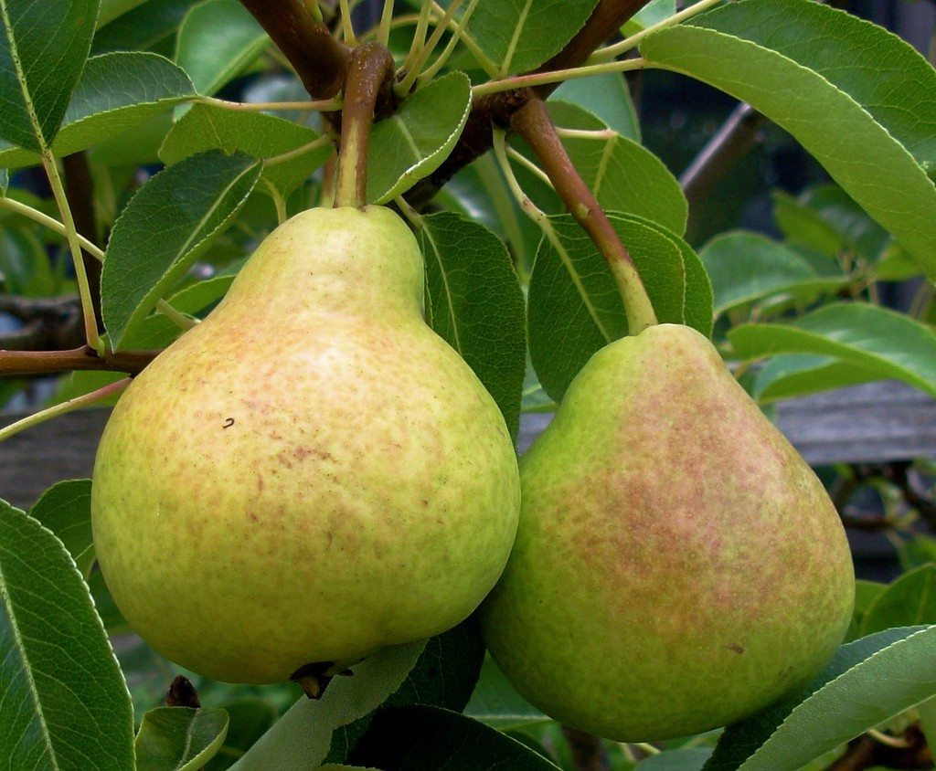Pears Plant For Sale in Bangladesh - GETSVIEW Market
