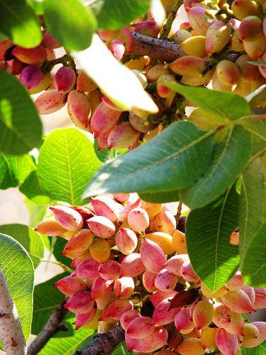 Pistachio (Nut) Plant For Sale - GETSVIEW Market