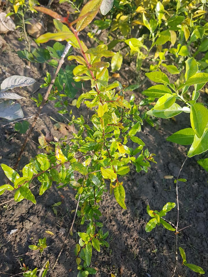 Pomegranate Plant For Sale in BD - GETSVIEW Market