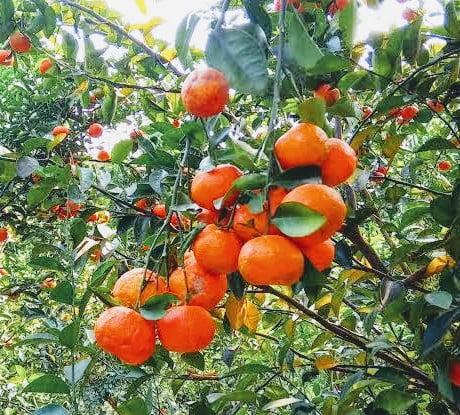 Ramarangan Orange