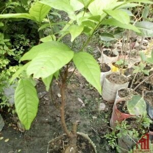 Rambutan Plant For Sale - GETSVI