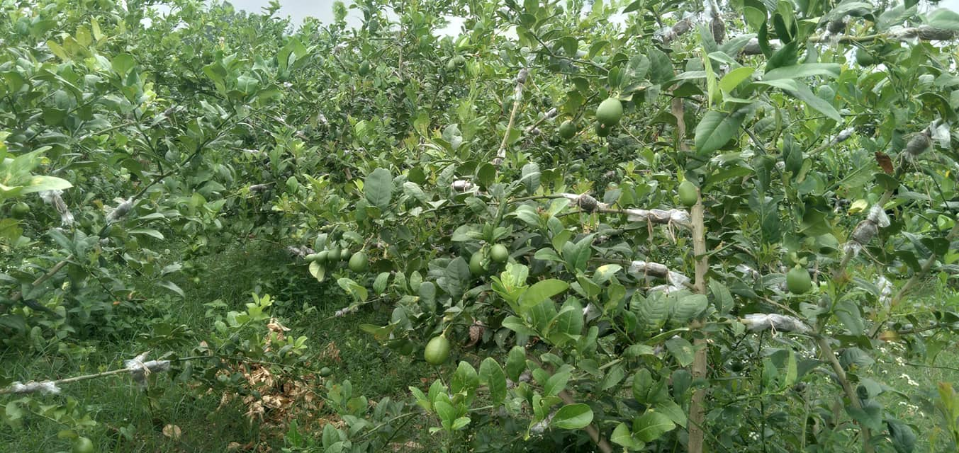 Seedless Lemon Plants BD - GETSVIEW Market
