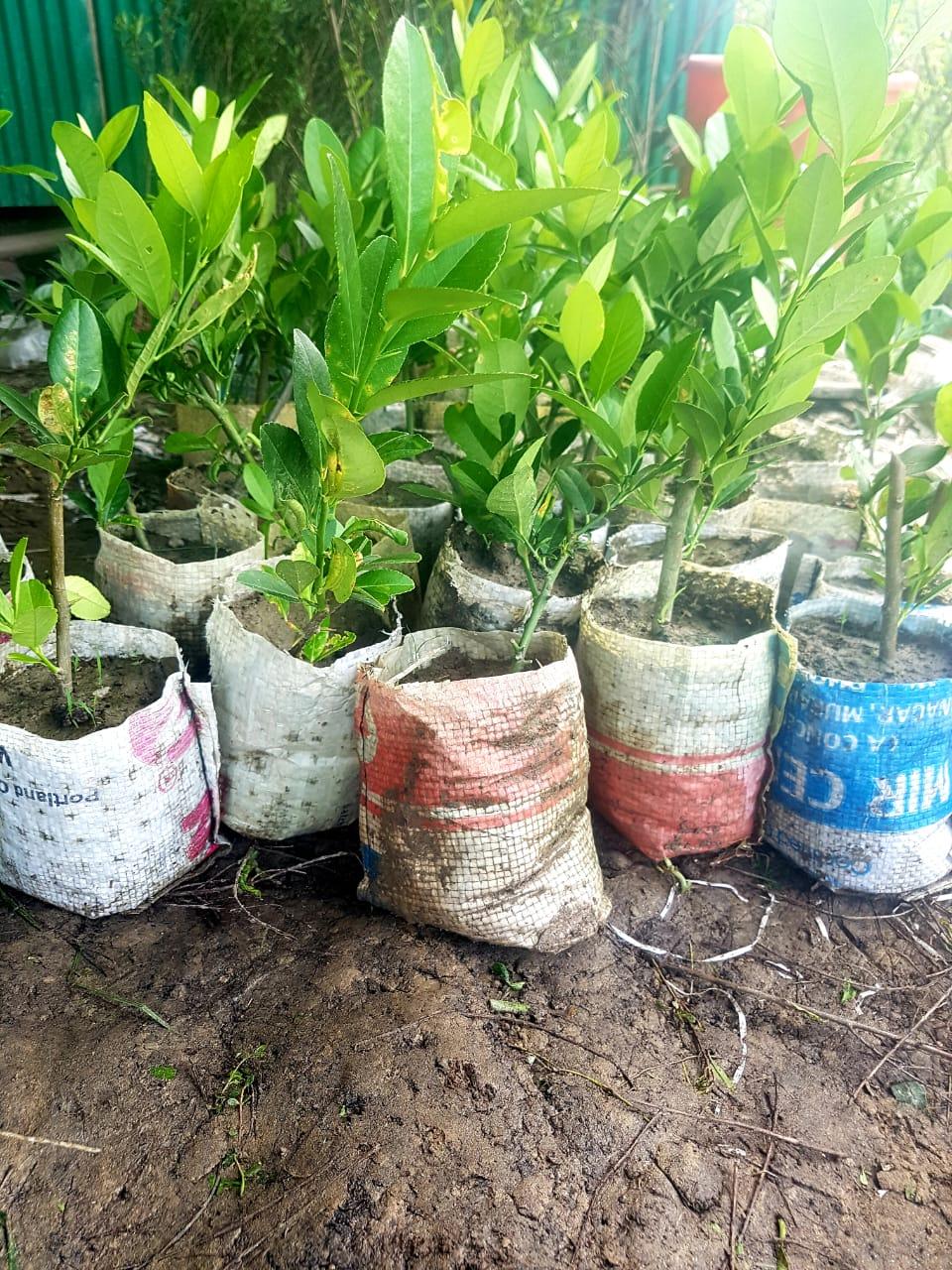 Seedless Lemon Tree - GETSVIEW Market