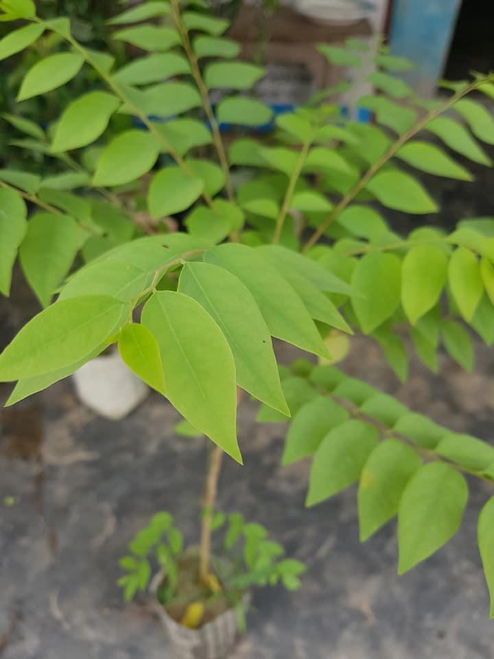 Star Gooseberry (Orboroi) Plant For Sale in Bangladesh - GETSVIEW Market