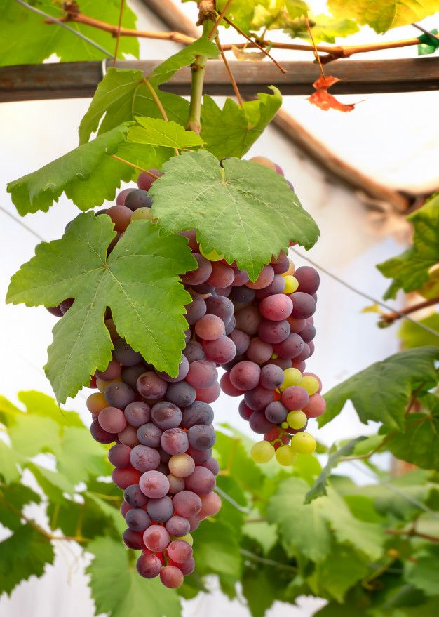 Thai Red Grapes BD - GETSVIEW Market