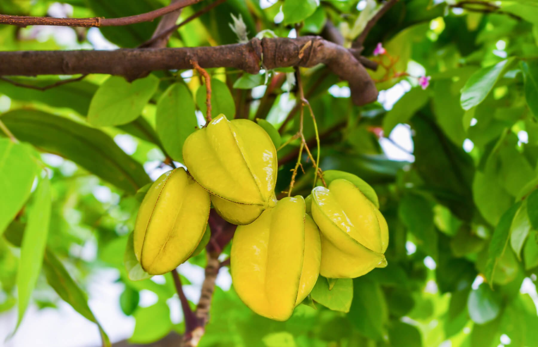 Thai Sweet Star Fruit