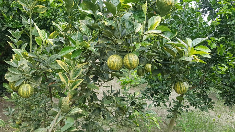 Variegated Malta Plant For Sale in Bangladesh - GETSVIEW Market