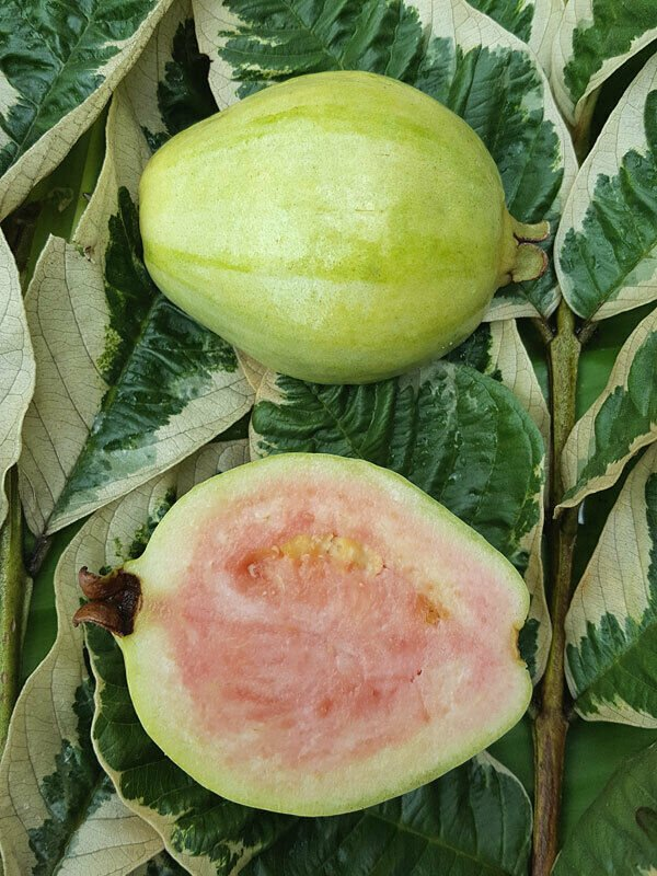 Variegated guava