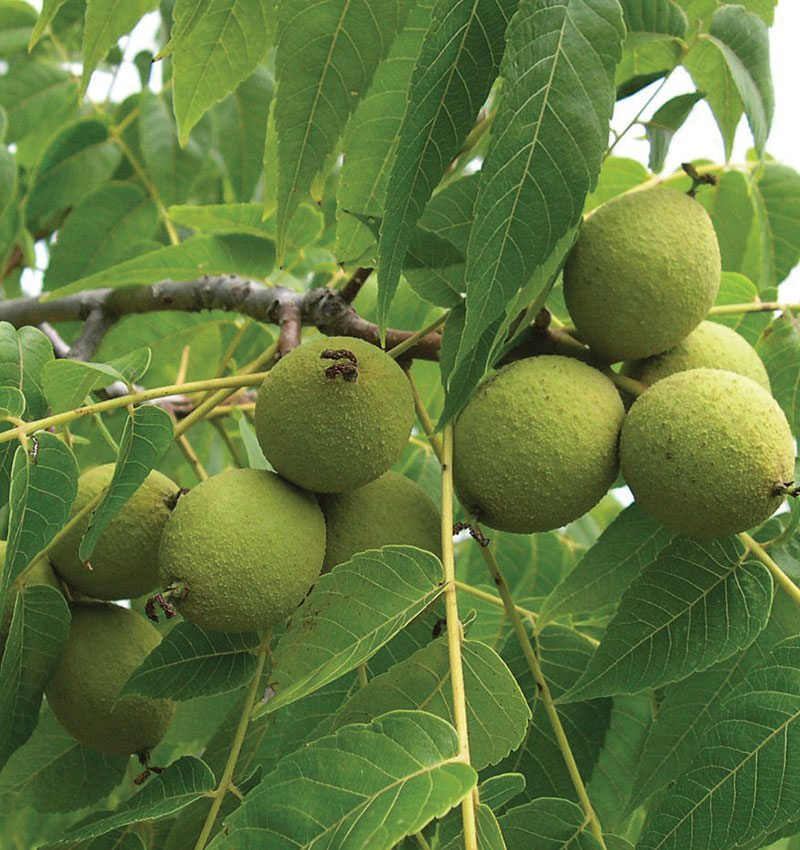Walnut Plant For Sale in Bangladesh - GETSVIEW Market
