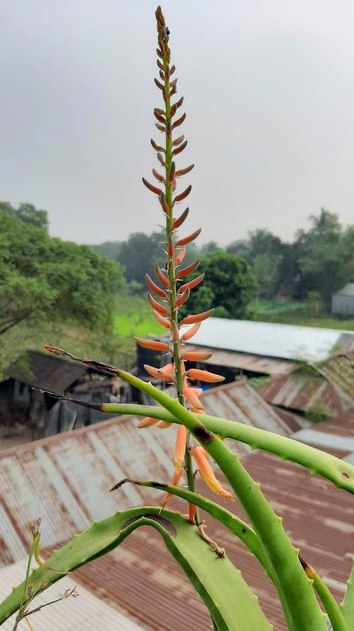 Aloe Vera Flower Bangladesh