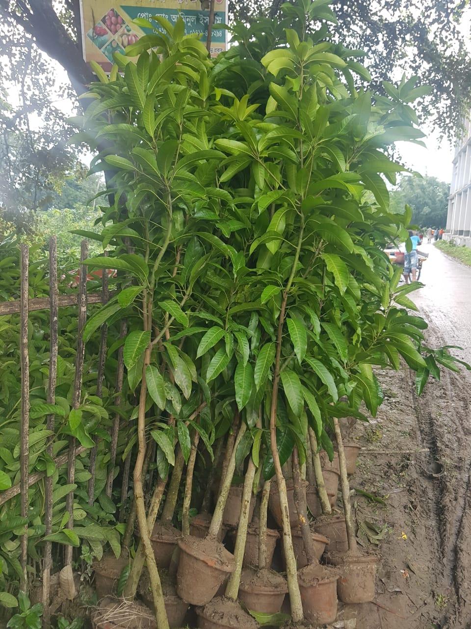 Bari 11 Mango Plant