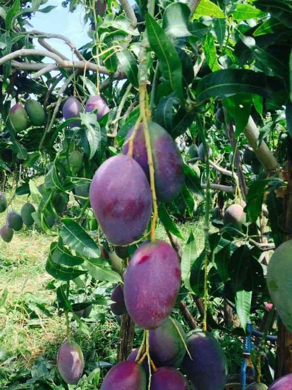 American Palmer Mango Plant For Sale in BD