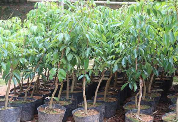 Bombay Litchi Plant For Sale in Bangladesh