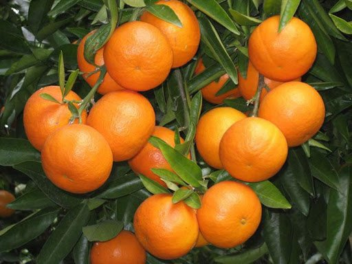 Chatoki Orange Plant Price in Bangladesh