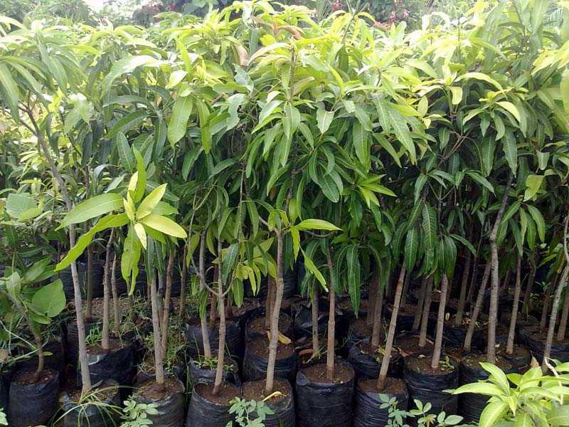 Himsagor Mango Plant For Sale BD