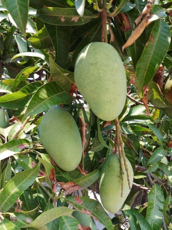 HoneyDew Mango Plant For Sale in BD