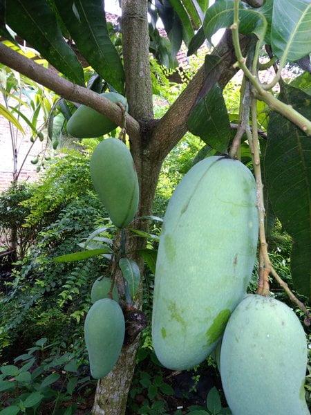 Kiojay Mango Plant Price in Bangladesh
