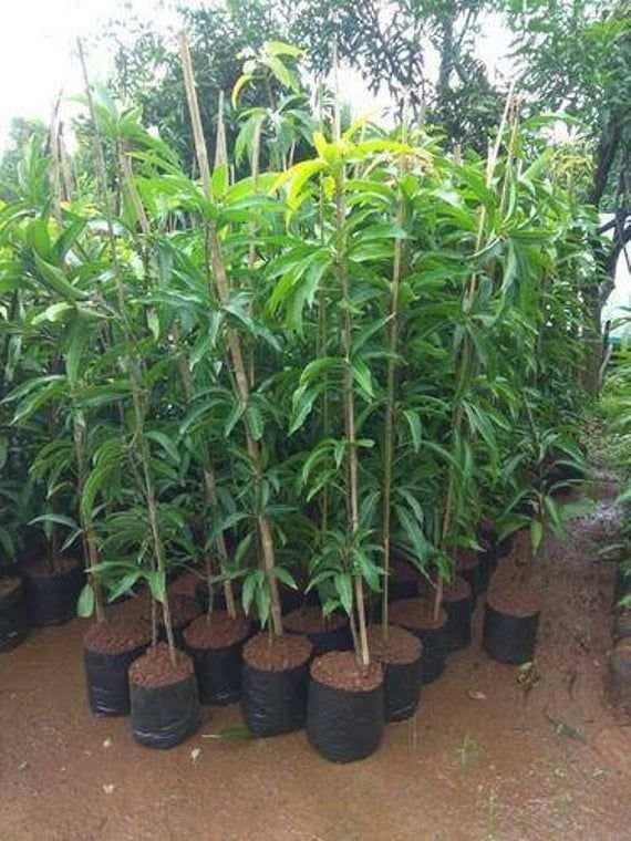 Than Banana Mango Plant Fore Sale in Bangladesh