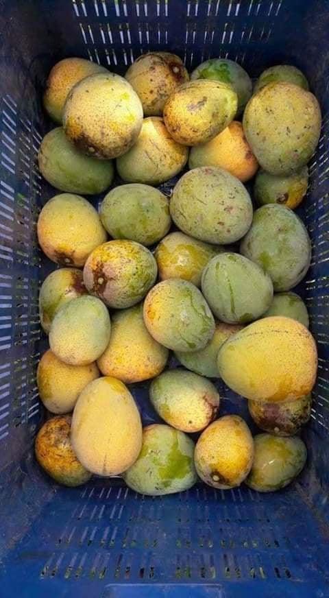 Buy Himsagar Mango Online - GETSVIEW Market