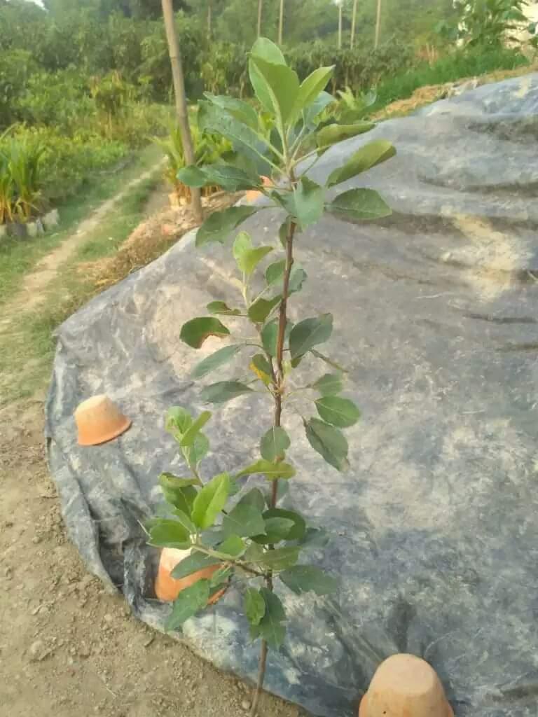 HRMN99 Apple Plant For Sale BD
